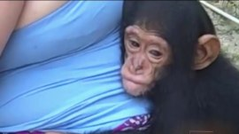 Mission of love: Couple risks their lives to care for orphaned chimps