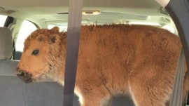 Yellowstone bison calf euthanized after tourists put it in their trunk