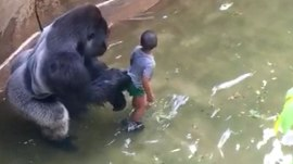 Giant gorilla is killed after boy slips into zoo enclosure
