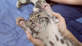 See the leopard triplets at Point Defiance Zoo & Aquarium
