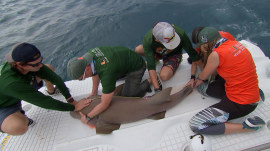 You have to see how scientists are studying pregnant sharks