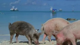 Swimming pigs? Take an inside look at this Bahamas phenomenon