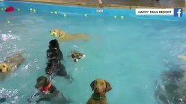 Watch this patient dog wait for a ball in a 'puppy resort' pool