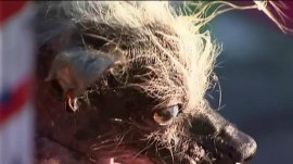 Meet this year's 'World's Ugliest Dog'