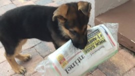Watch a (little) German Shepherd puppy try to fetch the (big) morning paper