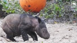 Watch this baby rhino adorably play in the mud