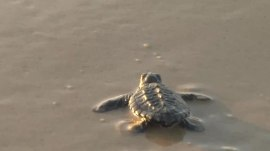Watch these sea turtle hatchlings swim into the ocean