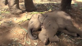 This baby elephant does NOT want to wake up