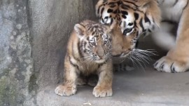 2-month old tiger cubs make their debut at Columbus Zoo