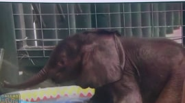 Watch this baby elephant take his first dip a kiddie pool
