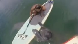 Watch playful manatee latch on to paddleboard