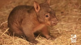 This baby wombat will brighten your day