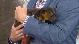 Get up close and personal with a kinkajou