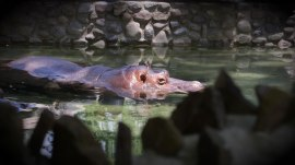 Hungry Hippos'! Watch Unna and Cindy enjoy a snack at the Philly Zoo