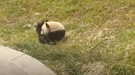 No one loves rolling more than this panda
