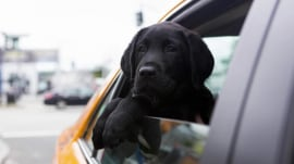 1st taxi ride, growing quickly: Catching up with TODAY's puppy with a purpose