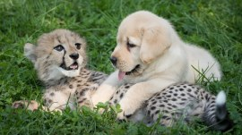 This adorable puppy and cheetah love hanging out