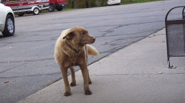 Dog's solo walks into town make him a local celebrity