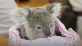 This orphaned koala found comfort in a stuffed animal after losing his mother