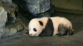This baby panda is adorably trying (and failing) to walk