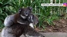 Watch this baby koala ride mama piggyback down suburban street