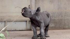 Blank Park Zoo welcomes adorable rhino calf
