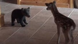 Bashful baby bear meets new fawn friend