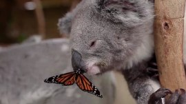 Butterfly lands on koala's nose, cuteness ensues