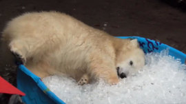 This polar bear cub can't get enough of these ice cubes
