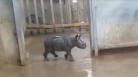 Watch this baby rhino take her first bath!