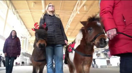 Unusual therapy animals are helping airport passengers with holiday stress