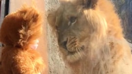 Baby dressed as lion comes to face-to-face with the real thing