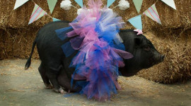 This rescue pot belly pig was the star of a maternity photo shoot