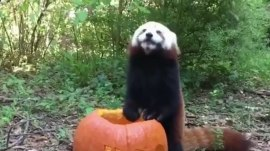 'Sunny' the red panda is missing from Virginia zoo