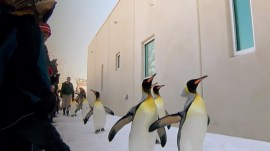 Penguins enjoy snow day with adorable march