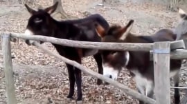 This donkey is no jackass: Watch him help his pal through fence