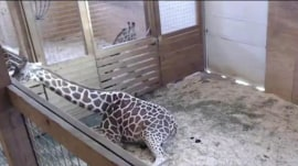 Millions watch live video of a giraffe about to give birth