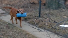 Dog delivers newspapers to Denver neighborhood every morning