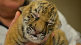 These newborn Malayan tiger cubs are the cutest thing you'll see today