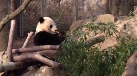 Say bye bye to Bao Bao! The National Zoo's beloved panda is making her trek home to China.