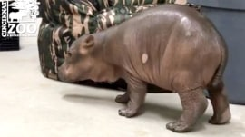 Adorable 2-week-old hippo takes triumphant first steps