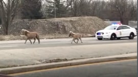 Watch these adorable miniature horses being chased by police