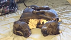These pit bulls snuggling are all of us after a long day