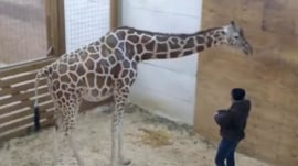 April the Giraffe is still pregnant, but her livestream has become a cash cow