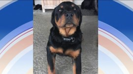 Meet Dean Cain's adorable new family member: A Rottweiler named King