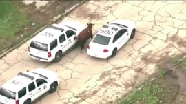 Udder chaos as 6 escaped cows take to the streets of St. Louis
