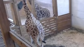 'Restless' April the giraffe is still pregnant as millions await