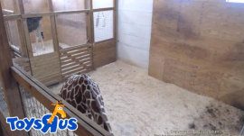 It looks like April the Giraffe's calf will be a Toys 'R' Us kid