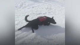 Watch this Lab slide through the snow in the best way possible