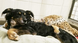 See this Australian shepherd playing parent to these tiger cubs!